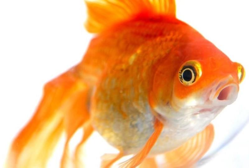 Память золотой рыбки