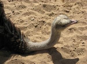 Страус в песке