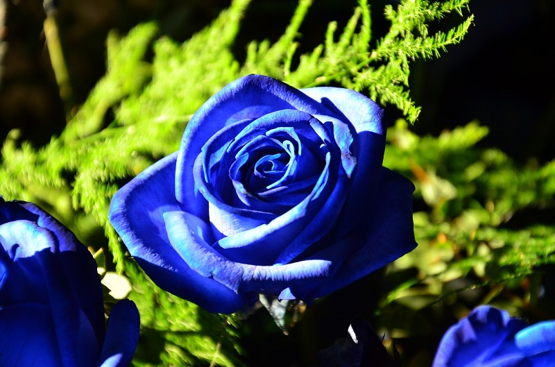 Синие розы в природе