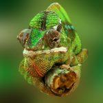 Как хамелеон меняет цвет
