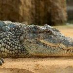 Крокодил в канализации