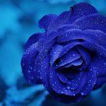 Тайна синей розы