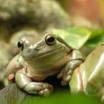 Бородавки от лягушек или жаб